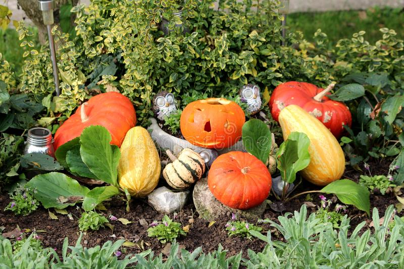 Halloween decoration carved jack-o-lantern and regular pumpkins in local garden surrounded with stone flower pots filled with. Plants and solar lights on warm royalty free stock photo