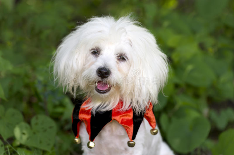 Halloween Dog Costume. Is a funny looking cute white dog all dressed up for trick or treats stock image