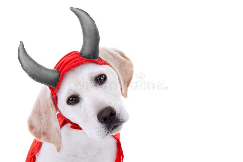 Devil Dog. Halloween Labrador puppy dog as devil stock photography