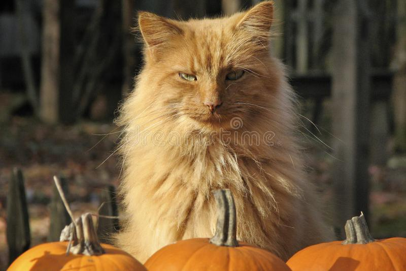 Ginger Cat with Pumpkins. Halloween ginger cat with pumpkins royalty free stock image