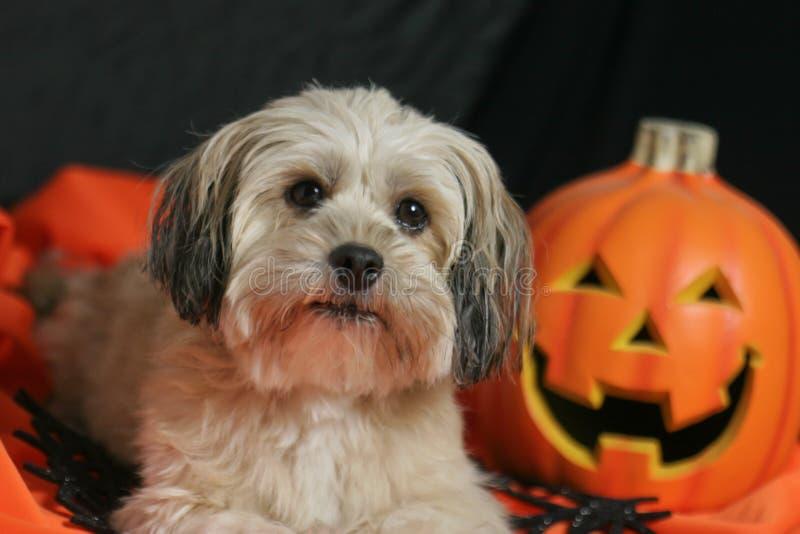 Halloween-Hund mit Kürbis lizenzfreie stockfotos