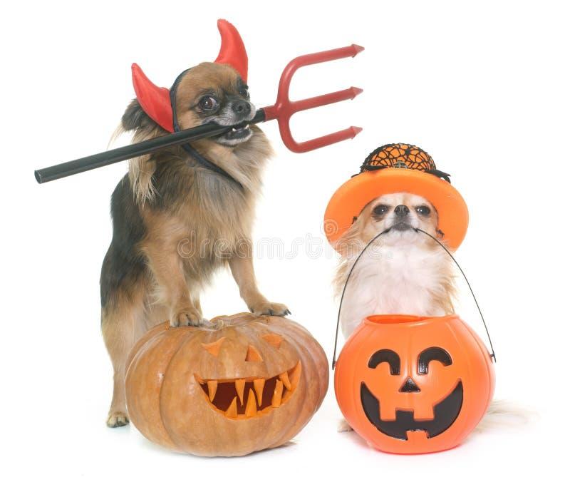 Halloween-Kürbis und -Chihuahua lizenzfreie stockfotos