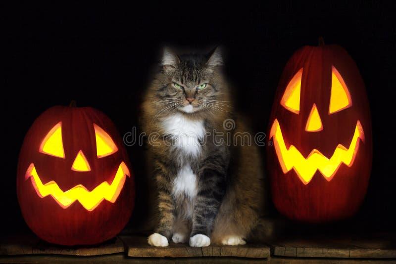 Halloween-Katze mit Jack-O-Laternen stockbilder