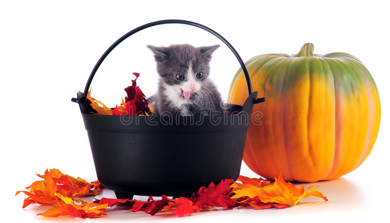 Download Halloween Kitty Stock Photography - Image: 15612142