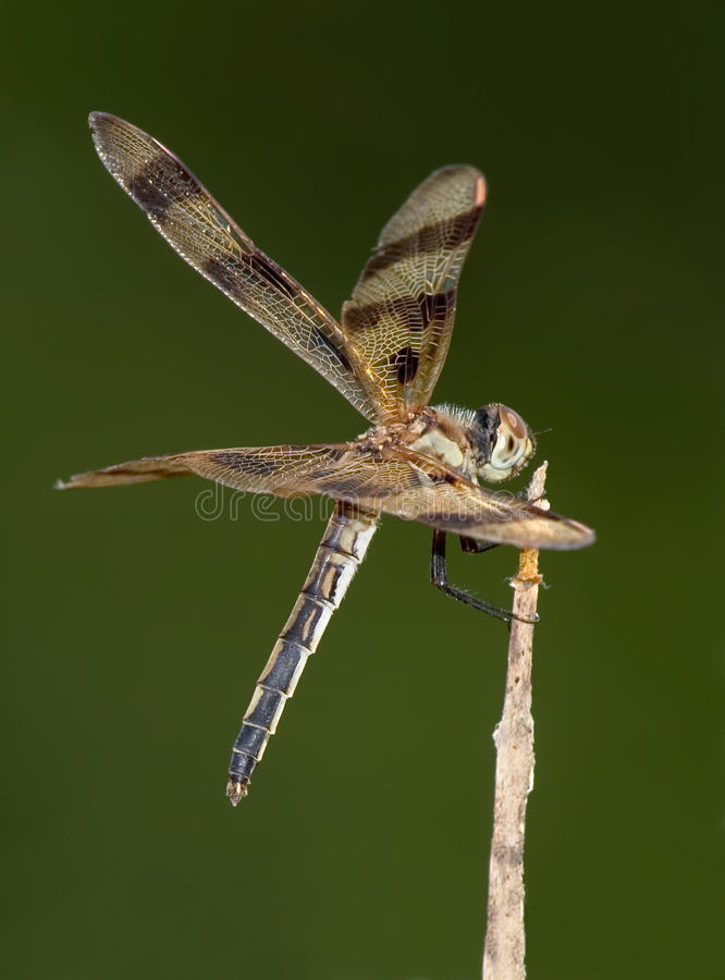 Download Halloween Pennant stock photo. Image of celithemis, background - 9363584