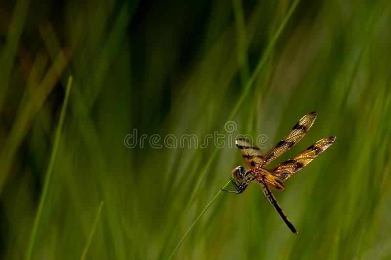 A dragonfly clings to beach grasses along the beach. A halloween pennant dragonfly clings to beach grasses along Barefoot Beach, Florida royalty free stock image
