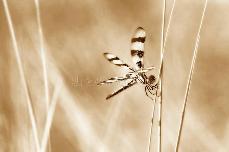 Dragonfly perched on wild grasses in sepia tones. Halloween pennant dragonfly perched on wild grasses, rendered in soft sepia tones stock photos