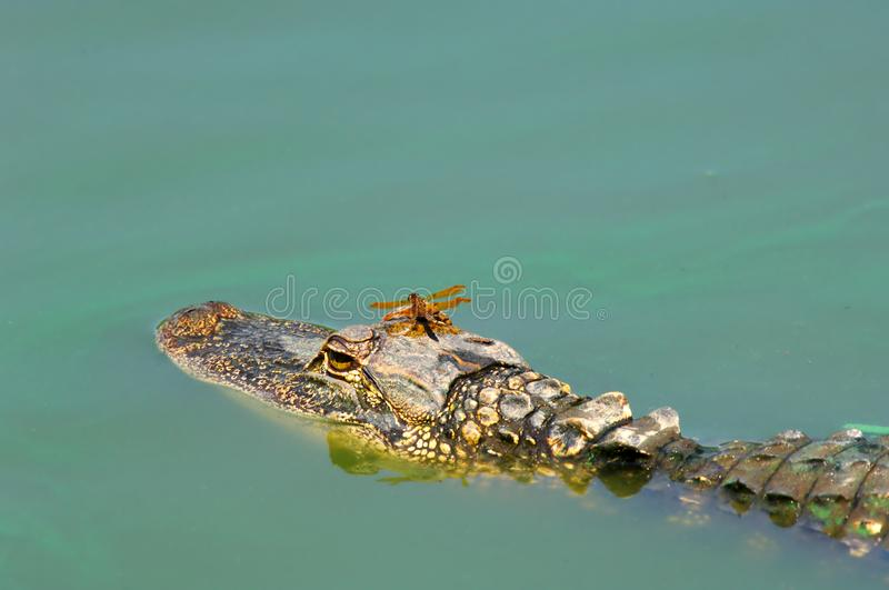Halloween Pennant dragonfly riding on an alligator`s head. Halloween Pennant dragonfly riding on an alligator`s head in turquoise green algae water during stock images