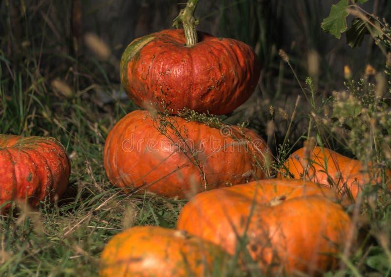 halloween Pomarańczowy bani kłamstwo na trawie obrazy stock