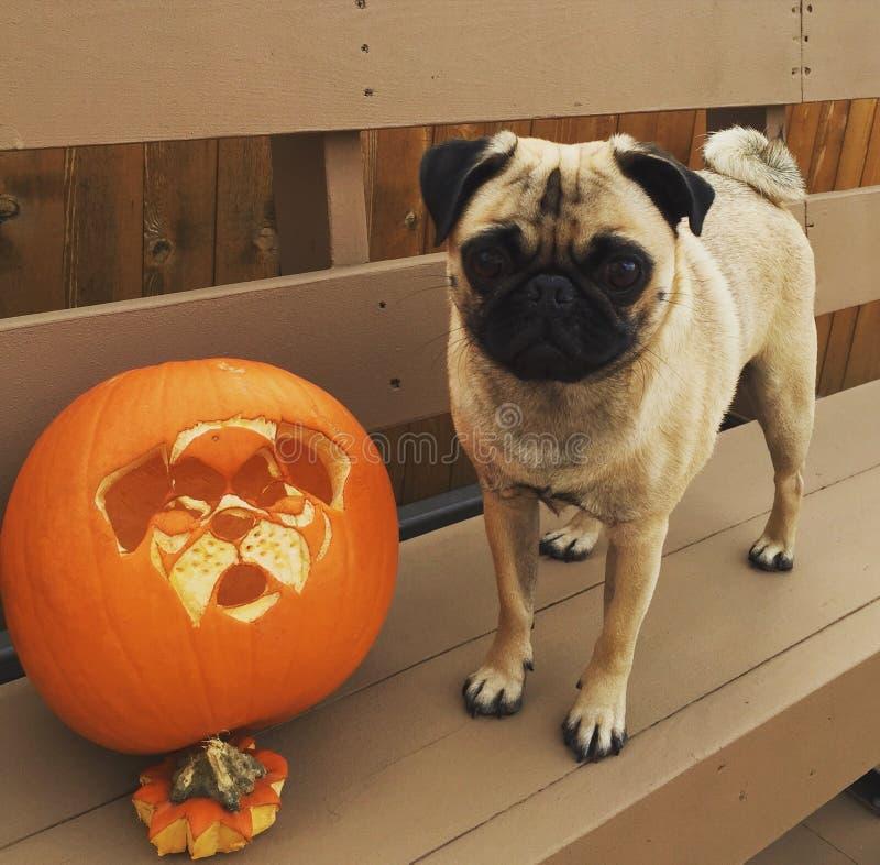 Halloween-pompoenhond en één knappe pug royalty-vrije stock afbeelding