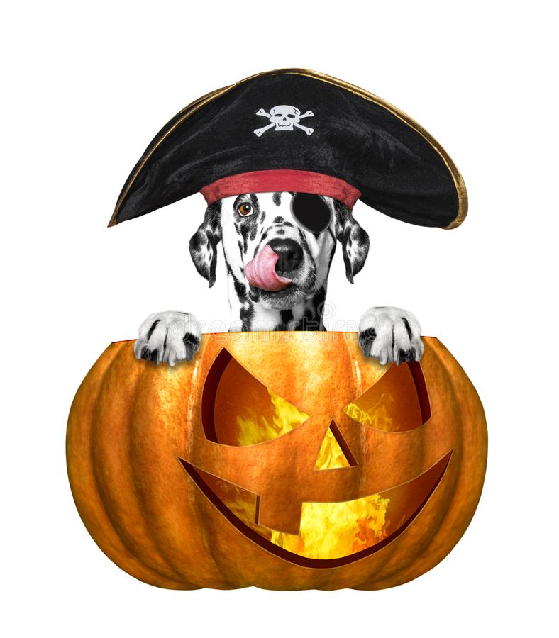 Halloween pumpkin with cute dalmatian dog in pirate costume - isolated on white stock images
