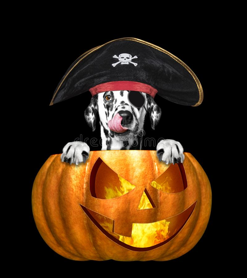 Halloween pumpkin with cute dog in pirate costume - isolated on black stock photography