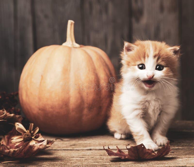 Halloween pumpkin jack-o-lantern and ginger kitten on black wood background royalty free stock photography