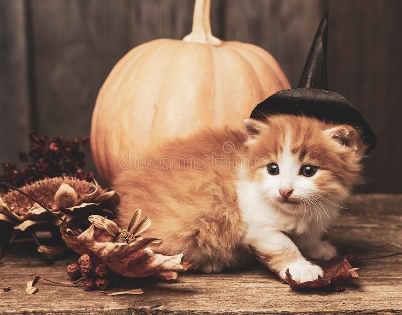 Halloween pumpkin jack-o-lantern and ginger kitten on black wood background.  stock photography
