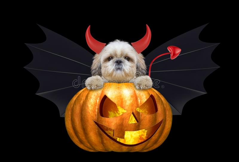 Halloween pumpkin witch cute shitzu dog in bat costume - isolated on black. Background stock image