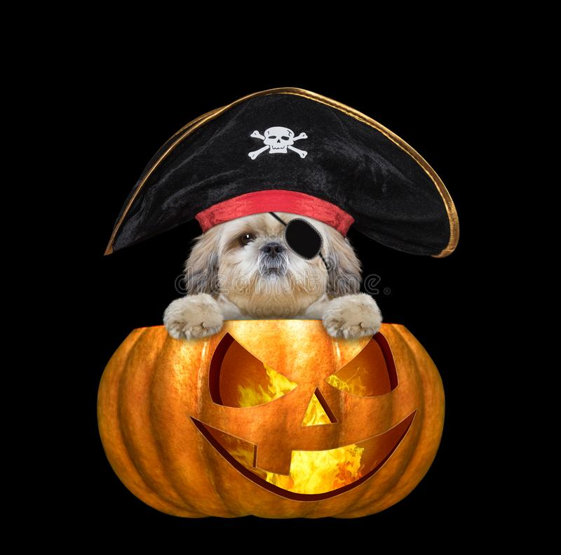 Halloween pumpkin witch cute shitzu dog in pirate costume - isolated on black royalty free stock photography