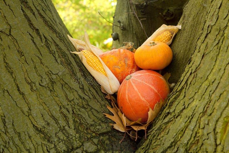 Halloween pumpkins in a tree stock image