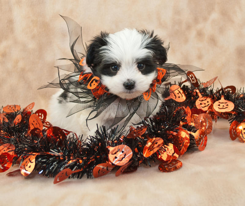 Halloween Puppy stock images