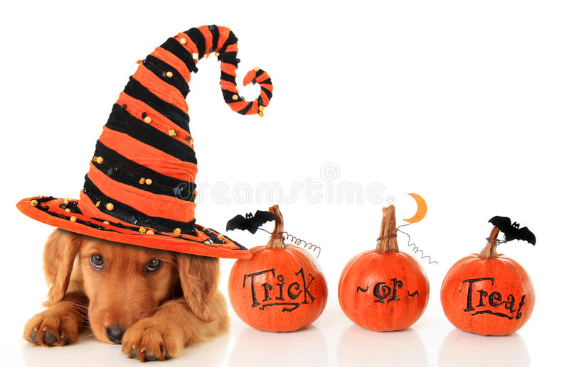 Halloween puppy. Cute puppy wearing a Halloween witch hat