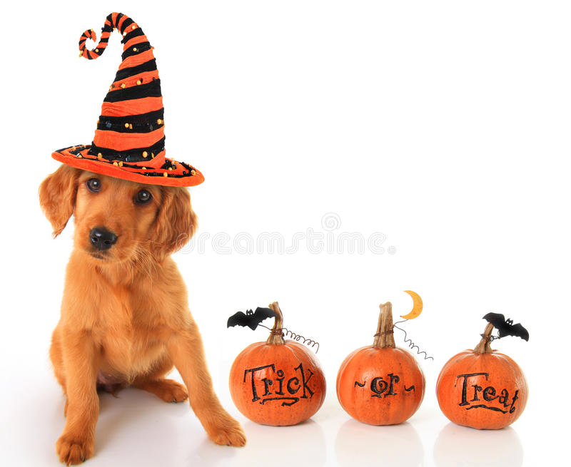Halloween puppy royalty free stock photo