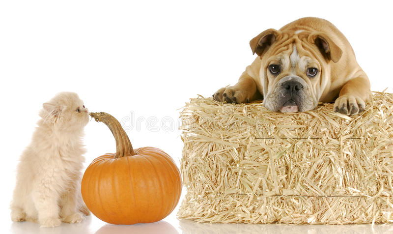 Halloween puppy and kitten royalty free stock image