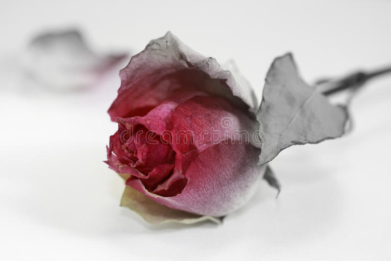 Halloween rose with ashy petals and leaves stock photos