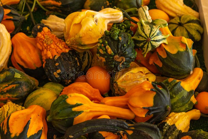 Halloween, Thanksgiving seasonal fall autumn holiday celebration background, a close up of a variety of unique unusual squash gour. Ds on display royalty free stock photos