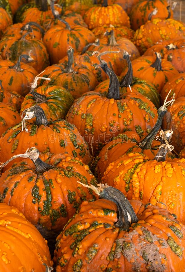 Halloween, Thanksgiving seasonal holiday celebration a variety of pumpkins on display in still life fall background celebrating ha. Rvest and agriculture in royalty free stock photos