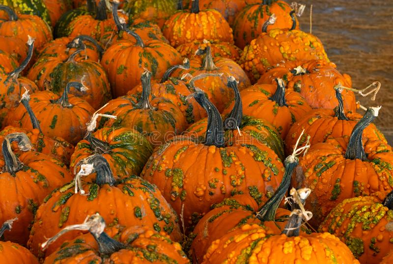 Halloween, Thanksgiving seasonal holiday celebration a variety of pumpkins on display in still life fall background celebrating ha. Rvest and agriculture in stock photography