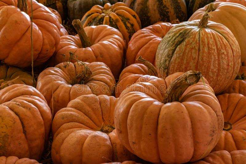Halloween, Thanksgiving seasonal holiday celebration a variety of pumpkins on display in still life fall background celebrating ha. Rvest and agriculture in royalty free stock photo