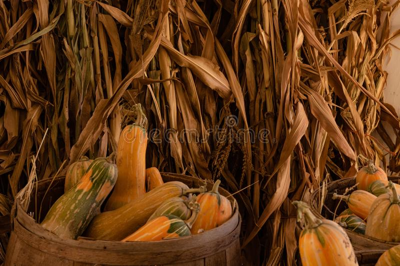 Halloween, Thanksgiving seasonal holiday celebration a variety of squash gourds on display in still life fall background with corn. Stalks, celebrating harvest royalty free stock photography