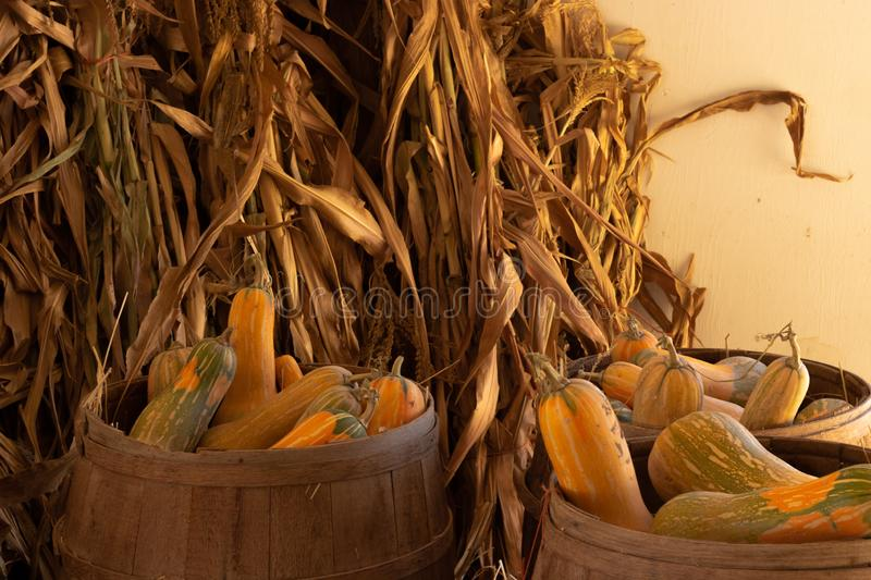 Halloween, Thanksgiving seasonal holiday celebration a variety of squash gourds on display in still life fall background with corn. Stalks, celebrating harvest stock photos