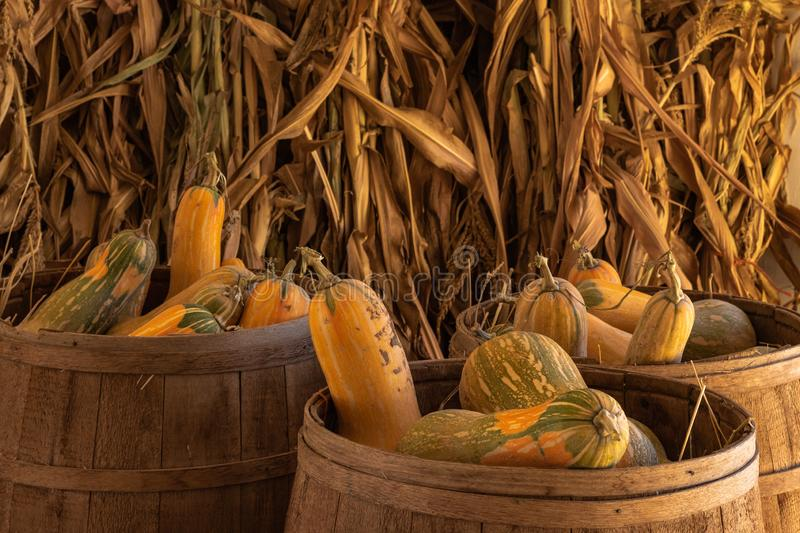 Halloween, Thanksgiving seasonal holiday celebration a variety of squash gourds on display in still life fall background with corn. Stalks, celebrating harvest royalty free stock photos