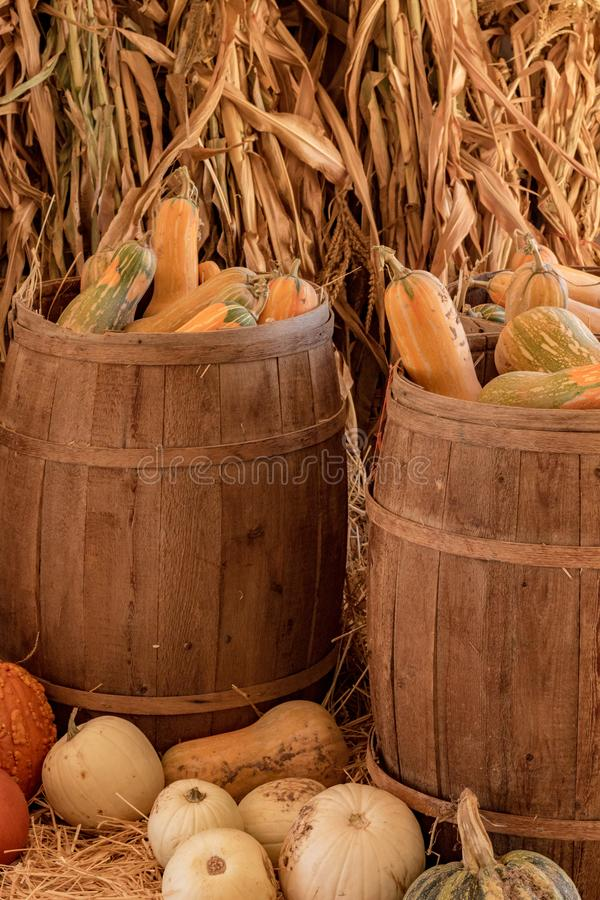 Halloween, Thanksgiving seasonal holiday celebration a variety of squash gourds on display in still life fall background with corn. Stalks, celebrating harvest stock images