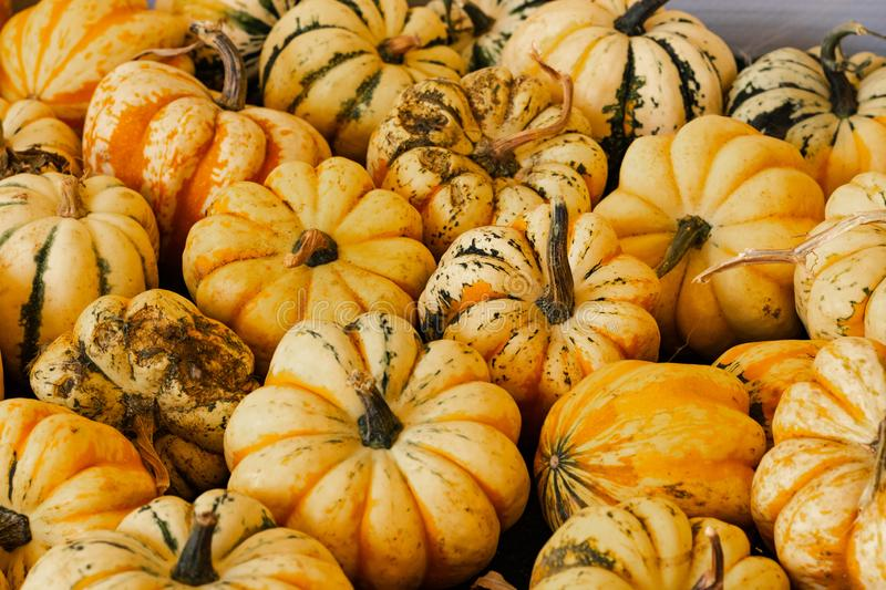 Halloween, Thanksgiving seasonal holiday celebration a variety of striped pumpkins on display in still life fall background celebr. Ating harvest and agriculture stock images
