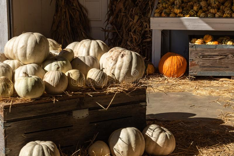 Halloween, Thanksgiving seasonal holiday celebration a variety of white pumpkins on display in still life fall background celebrat. Ing harvest and agriculture royalty free stock photos