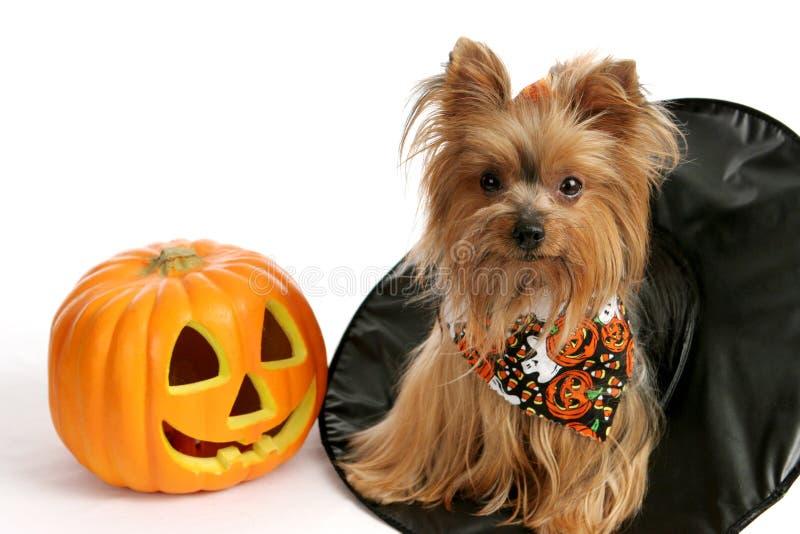 Halloween Yorkie in cappello della strega immagine stock