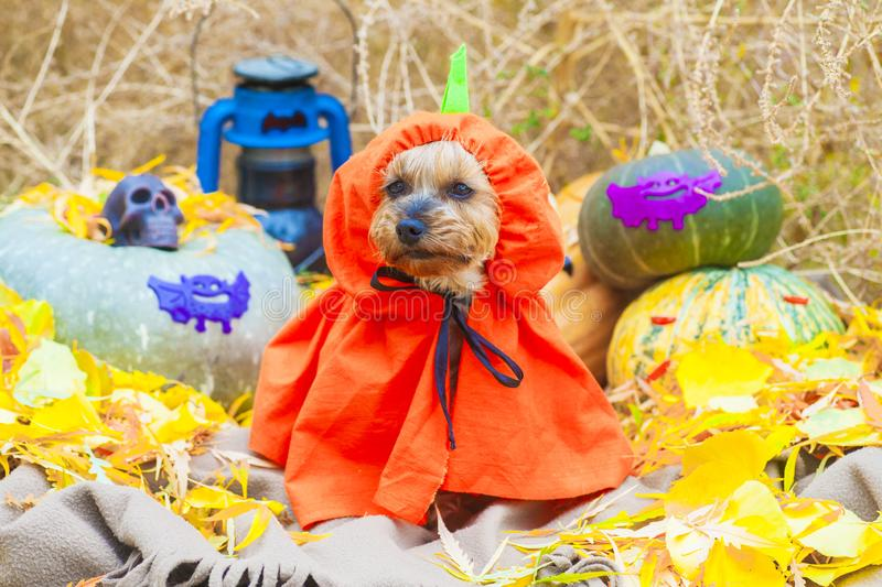 Halloween Yorkshire terrier in pumpkin costume looking at side royalty free stock photos