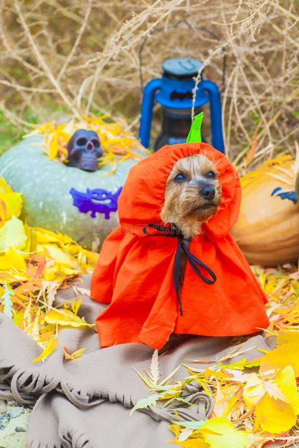 Halloween Yorkshire terrier in pumpkin costume stock photos