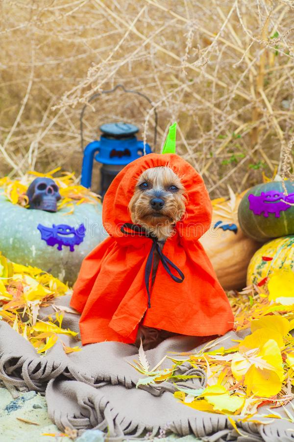 Halloween Yorkshire terrier in pumpkin costume royalty free stock photography