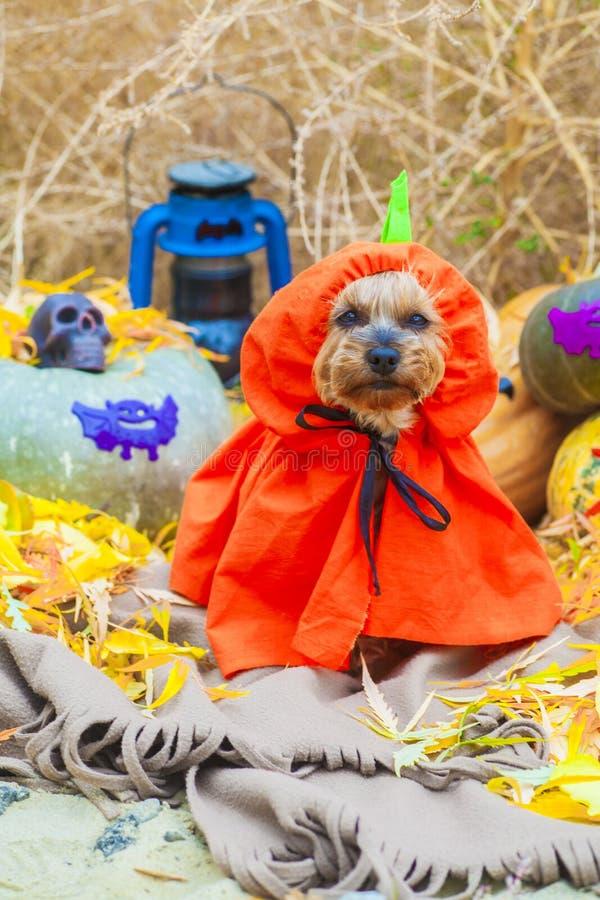 Halloween Yorkshire terrier in pumpkin costume royalty free stock photos