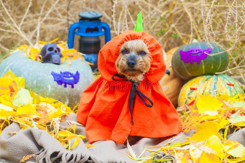 Halloween Yorkshire terrier in pumpkin costume royalty free stock image