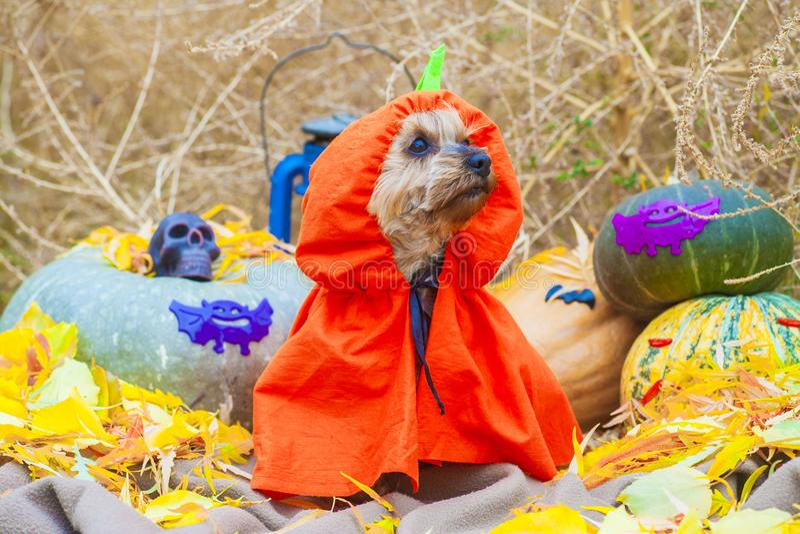 Halloween Yorkshire terrier in pumpkin costume stock photo