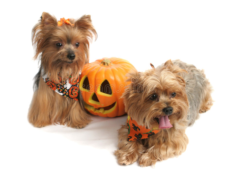 Halloween Yorkshire Terriers royalty free stock photography