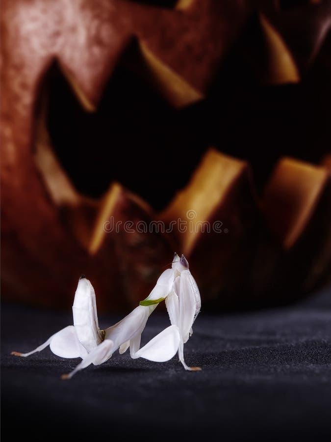 Halloweenowe banie i modliszka na czarnym tle obraz stock
