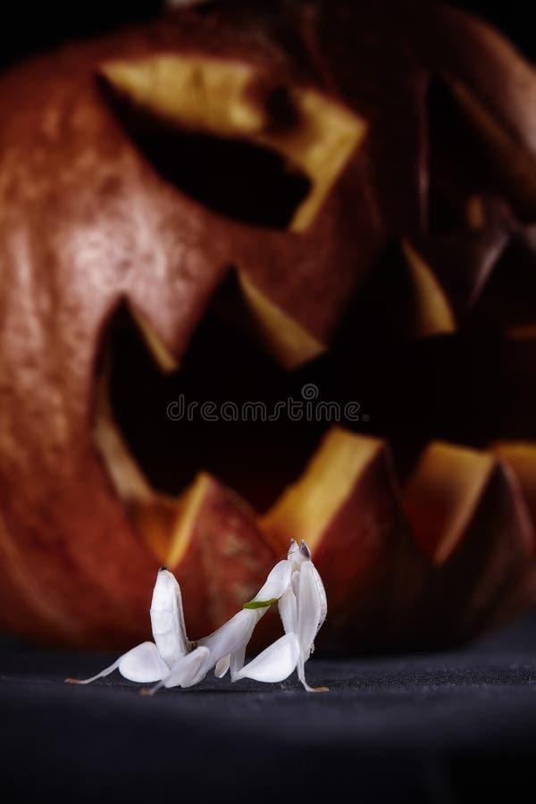Halloweenowe banie i modliszka na czarnym tle fotografia royalty free