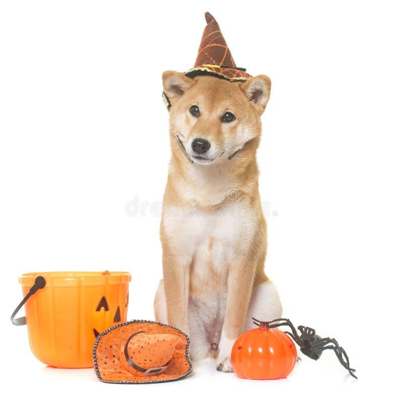 Halloweenowy shiba inu zdjęcie royalty free