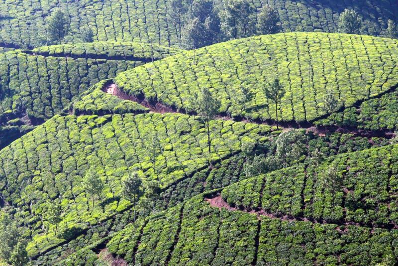 Halna herbaciana plantacja w India zdjęcie stock