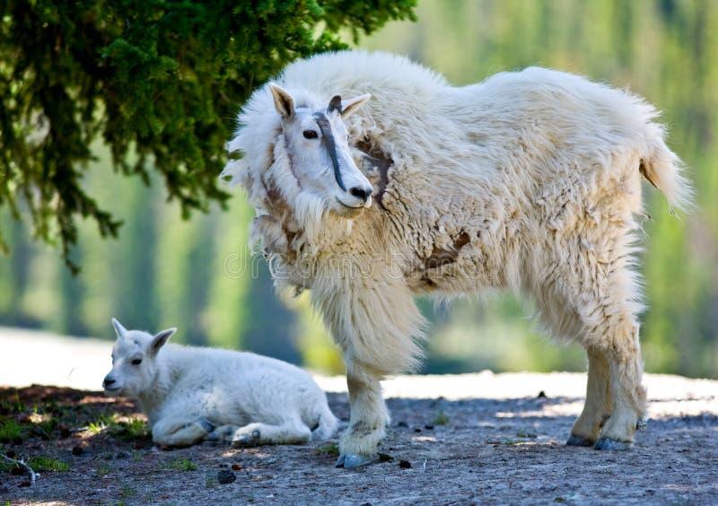 Halna kózka i dzieciak - Jaspisowy park narodowy zdjęcie stock