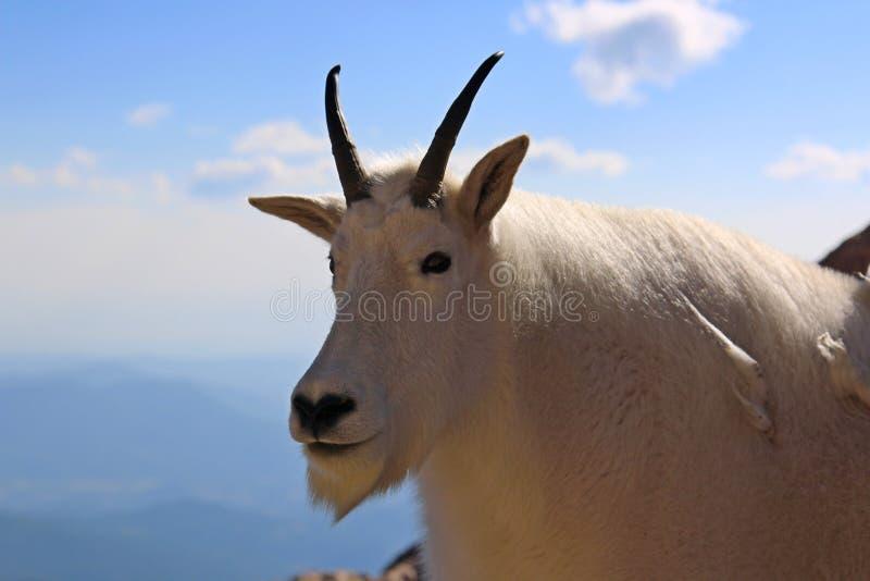 Halna kózka na Mt Evens Kolorado obraz stock